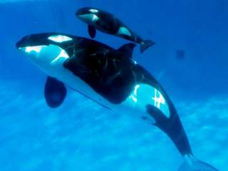 Click image for larger version  Name:KNXV_Seaworld_whale_birth_20130214125333_320_240.jpg Views:1 Size:6.3 KB ID:25616